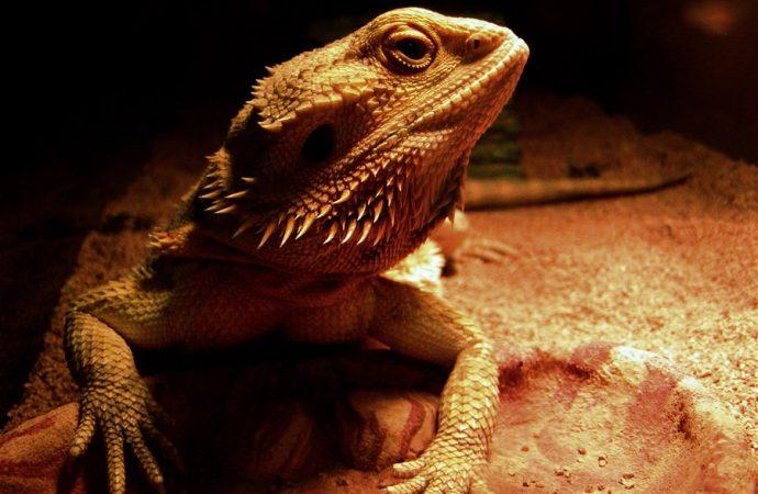 Lizards Enter REM and Sleep like Humans