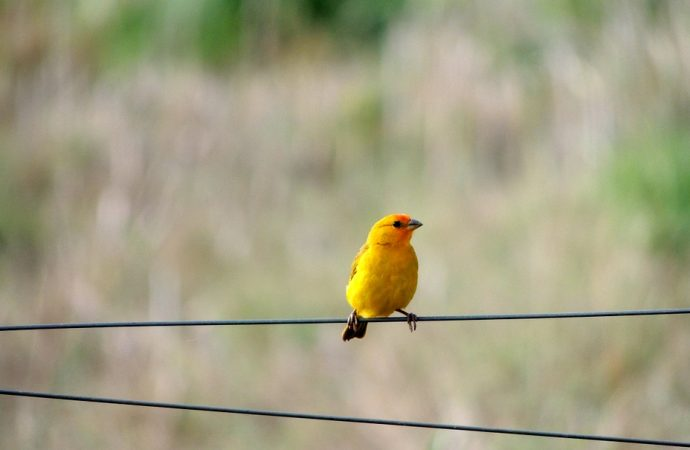 Birds Gene that Converts the Yellow to Red Pigment has been discovered