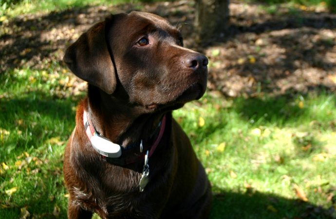 Labrador Retrievers only Thinks about Eating – New Scientific Study Reveals Explanation to their Obesity