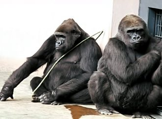 What Does Mountain Gorillas Reveal through their Teeth?