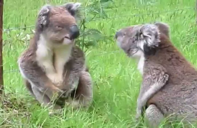 Koalas at Risk from Epidemics of Chlamydia