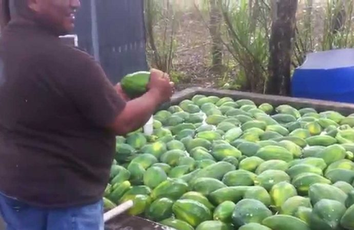 Scientists seek to use Papaya Peel to Prevent Disease