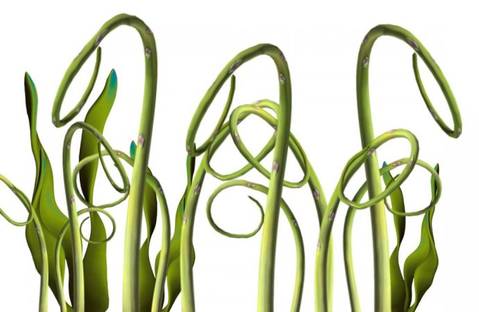 Calcium Buildup in Seaweed Displayed with Synchrotron Light