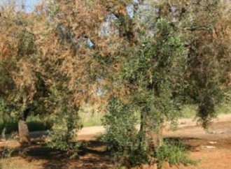 A Bacterium Destroys Olive Trees in Southern Italy