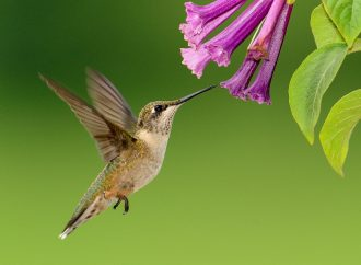 Hummingbird Metabolism will shed light on Human Obesity and Weight Loss