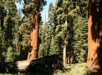 Climate Change Threatens Survival of Giant Trees