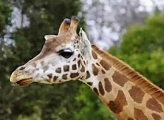 A Handful of Genes explains how the Giraffe got to have such a Long Neck