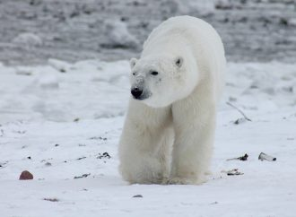 Polar Bears Increase Swimming due to the Melting of the Arctic – Footprint of Climate Change