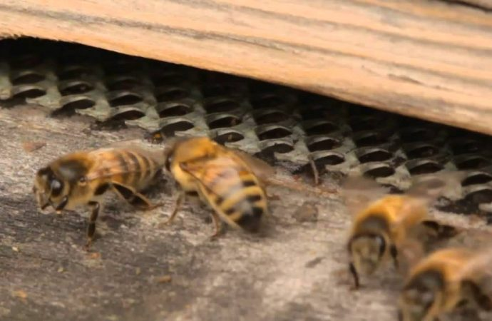 Bees Reproduce without need for Males