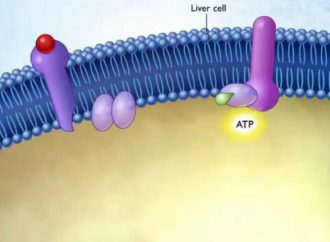 Observing Alterations in Cells Infected by Hepatitis C as they are reversed by Drug